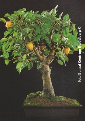 TROPICA - Caqu (Diospyros kaki) - 10 semillas- Bonsai