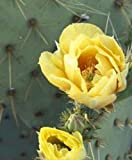 Live Plant - 2 pad, Eastern Prickly Pear Cactus Plant, Hardy Zone 5,,, 2 Healthy CUTTINGS 5'+ - Succulent Plant