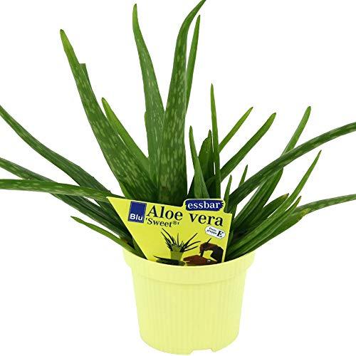 2 Pflanzen Aloe vera barbadensis Miller, Aloe vera