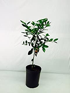 2-3 Year Old (2-3 Ft) Owari Satsuma Orange Tree