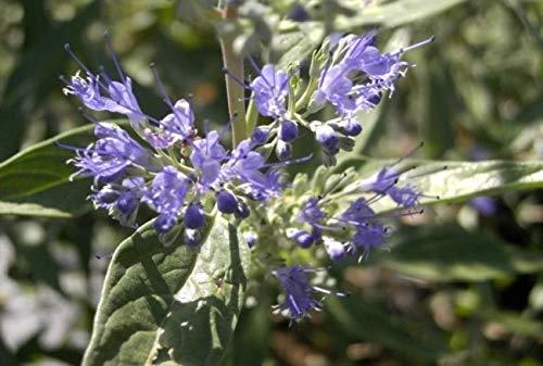 Caryopteris clandonensis Heavenly Blue -...