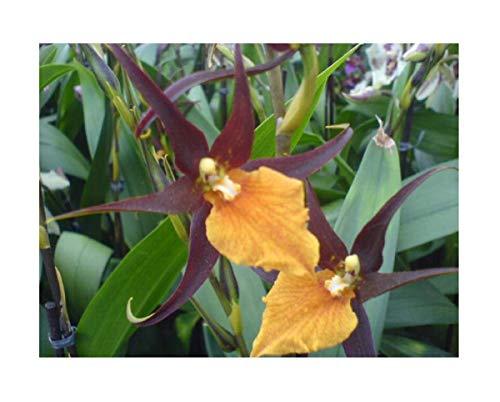 Stk - 1x Adaglossum Summit French Town Zimmer Pflanze Orchidee OW3 - Seeds Plants Shop Samenbank Pfullingen Patrik Ipsa