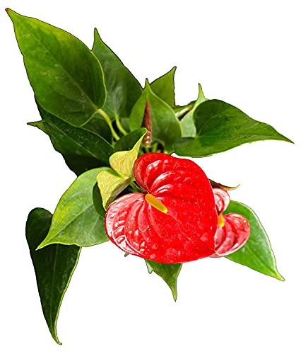 INDIAN FLORA® : ANTHURIUM RED | Exotic Live Plant | Home Decor Plant | Plastic Pot | Air Purifying |