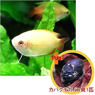 熱帯魚 ゴールデンハニードワーフグーラミィ2匹とカバクチカノコ貝1匹のセット 【北海道・九州・沖縄・離島は発送不可】 生体