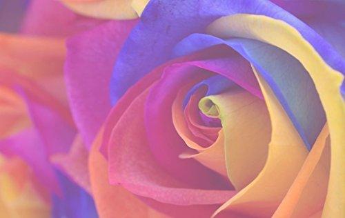 Xuanqin Rose Arc-en-Couleur - 20 graines