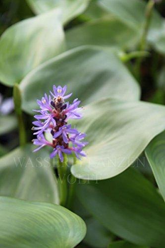 fertig im Pflanzkorb - Pontederia cordata - winterhart - herzblättriges Hechtkraut, blau - Wasserpflanzen Wolff