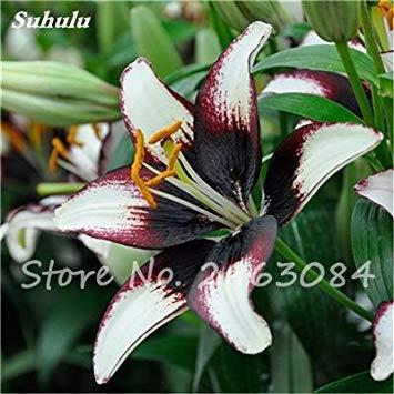 Livraison gratuite 100 pcs Lily Graines de fleurs Parfums Lily Graines Indoor Bonsai Graines exotiques vivace Plante en pot pour jardin 20