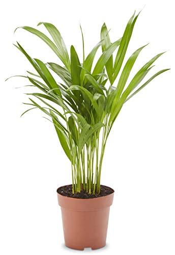 AIRY Goldfruchtpalme (Dypsis lutescens), Luftreinigende Zimmerpflanze verbessert die Luftqualität, Topf-Ø 12cm, Höhe ca. 40 cm, Sicherer Pflanzen Versand, Qualitätskontrolle, Deutsche Gärtnerei