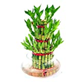 POSITIVE ENERGY - Bamboo Plant is supposed to bring positive energy into your surroundings wherever you place it home or office. AIR PURIFYING PLANT - This Bamboo Plant with Pot is a natural air purifier. Good for your home and office or a great gift...