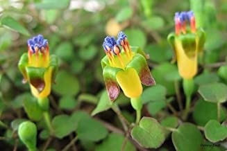 ~ Fuchsia Procumbens ~ Creeping Rainbow Fuchsia ~ Climbing Flowers ~ Rare Seeds