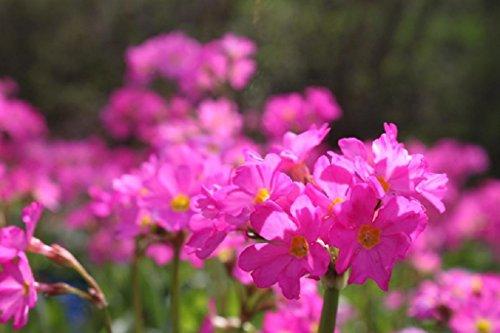 Wasserpflanzen Wolff - Primula rosea - Rosenprimel - Sumpfprimel, rosa