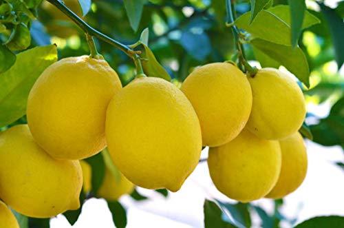 20pcs/Bag Lemon Tree Seeds Rare Fruit Seeds Home Garden Plant DIY Bonsai
