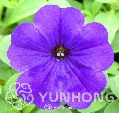 Kalash Neue 100 PC hängende Petunia Blumensamen für Garten violett