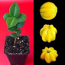 Cutdek Pitangatuba Star Cherry Eugenia Selloi neonitida Fruit Tree Seedling Plant