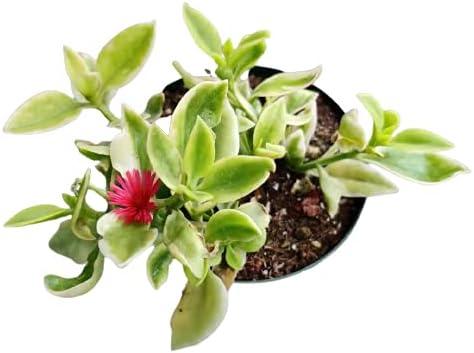 Live Succulent Plants Aptenia 4
