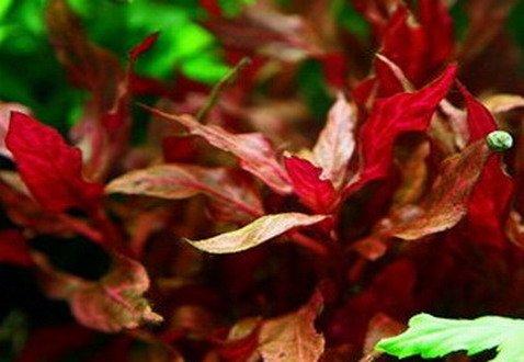 WFW wasserflora NEU! Kleines rosanerviges Papageienblatt/Alternanthera 'Rosanervig'