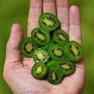Seltene New Variety Mini-Kiwi Bio-Saatgut, Profi-Pack 50 Samen / Pack, leckere süße Köstliche Indoor Bonsai # NF679