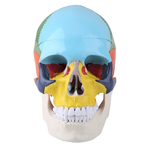 Modelo de cráneo humano coloreado, modelo de cráneo humano de pintura, modelo anatómico de cráneo humano de plástico para hospital para pintar