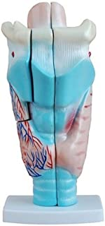 Professional Magnified Human Larynx Joint Simulation Model Medical Anatomy Type:YR-H-XC-301