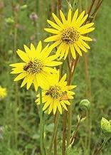 Prairie Dock (Silphium pinnatifidum), Seed Packet, True Native Seed