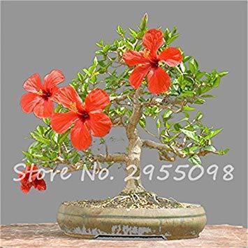 Virtue Zimmer Zierpflanze Mini Bonsai Hibiskus Samen, seltene Topfblumensamen, mehrjährige Blumen Garten Gewächshaus Pflanze 100 Stück 19