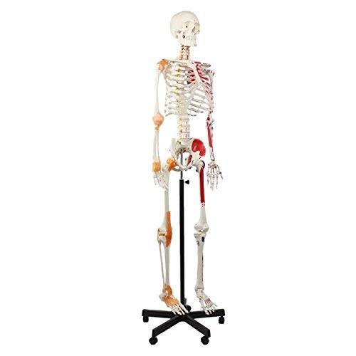 Cranstein A-125 Muskel Skelett-Modell lebensgroß 180cm mit Muskelbemalung, Ligamenten, flexibler Wirbelsäule, Nummerierung, Anatomieposter - Anatomie-Modell als Lernmodell oder Lehrmittel