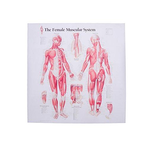 UKCOCO Póster de la lona del sistema muscular femenino Decoración anatómica del sitio de la imagen colgante para el restaurante del hospital de la escuela casera (40x40cm)