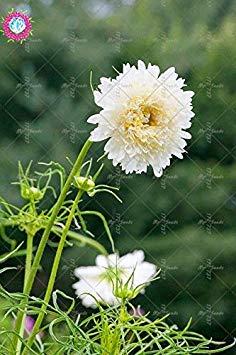 100pcs Rare Bonsai Double Cosmos Graines de fleurs vivaces plantes à fleurs en pot pour jardin Facile à cultiver 3