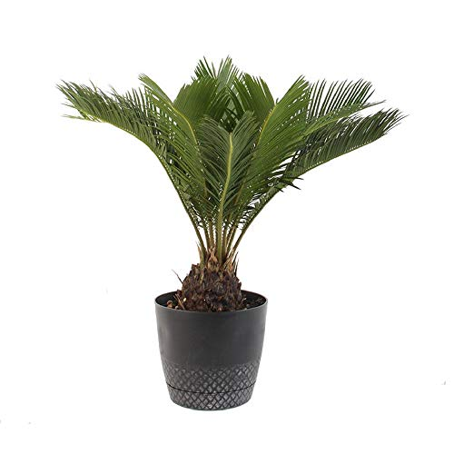 AMERICAN PLANT EXCHANGE King Sago Palm Tree Live Plant, 6' Pot, Indoor/Outdoor Air Purifier