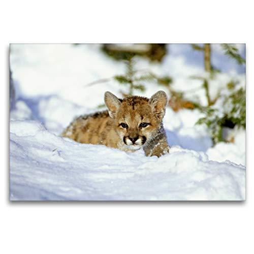 CALVENDO Premium Textil-Leinwand 120 x 80 cm Quer-Format EIN kleines Pumajunges versinkt im tiefen Schnee, Leinwanddruck Verlag