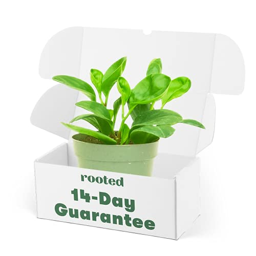 Baby Rubber Plant - Peperomia obtusifolia | Live, Easy to Grow and Low Maintenance Houseplant (4-inch Pot)