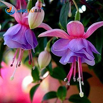 100 Pcs / Bag Fuchsias Seeds, pot de fleurs, fleurs de plantation de bricolage, de Bell Flower, Lanterne Begonia, Couleur mixte