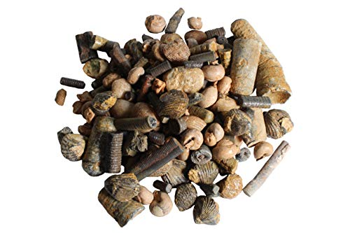 Fossil Collection Set - Fossil Kits with Real Specimens - Fossils for Kids - Brachiopods Gastropods Clams Crinoids Orthoceras
