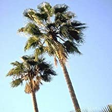 Best palm tree seeds for sale Reviews