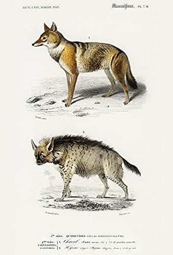Golden Memphis Mall Jackal Canis Aureus Ranking TOP9 - Hyena Striped Illustrati 1849