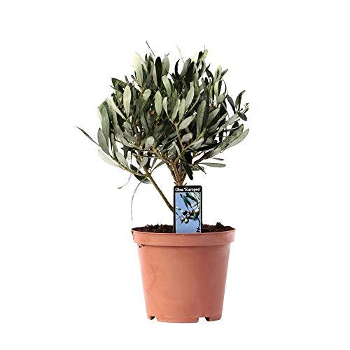 Olea Europaea | Olivenbaum winterhart | Mediterrane Pflanzen | Garten- und Balkonpflanzen winterhart | Höhe 25-30cm | Topf-Ø 12cm