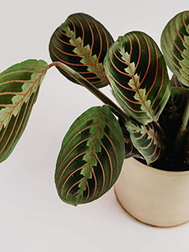"""Product Image 4: Red Maranta Prayer Plant – Live Plant in a 4 Inch Pot – Maranta Leuconeura """"Erythroneura"""" – Beautiful Easy to Grow Air Purifying Indoor Plant"""