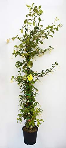 PLANTI' Pianta vera da esterno GELSOMINO Rincospermun Gelsomino rampicante Falso gelsomino diametro 17 cm altezza 130 cm