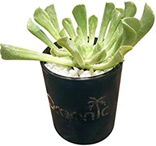 Succulent - Upcycled, Green Thumb COVID-19 Edition (100% of Profits to Charity)