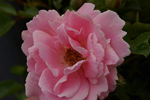 Bodendeckerrose Sommerwind® - Rosa Sommerwind® - Beetrose - reinrosa - Kordes-Rose - ADR-Rose - Preis nach Stückzahl 5 Stück