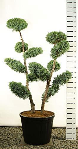 Modernes Formgehölz - Blauer Strauchwacholder - Juniperus chinensis Blue Alps MULTIPLATEAU+ - 225-250cm - Topf Ø 60 cm - 80 Ltr.