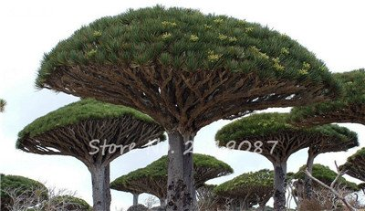 Livraison gratuite 10 Pcs rares Dracaena arbre alpiste Tree Island Sang (Dracaena draco) voyantes, Jardin des plantes exotiques 21 Diy