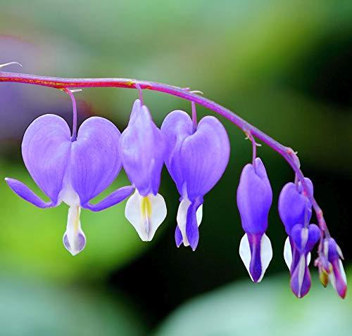 10Pcs Rare Purple Bleeding Heart Seeds Dicentra Spectabilis Flower Seeds