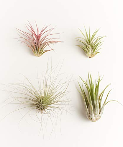 Shop Succulents | Live Air Plants Hand Selected Assorted Variety of Species, Tropical Houseplants for Home Décor and DIY Terrariums, 4-Pack B