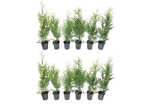 Thuja Plicata 'Green Giant' Arborvitae - 12 Live Quart Size Plants - Live Evergreen Privacy Tree