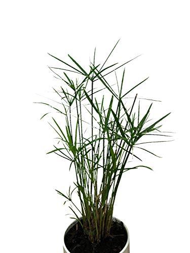 100+ Zyperngras Samen -Zimmer-Zyperngras- -Cyperus alternifolius- WASSER-PALME