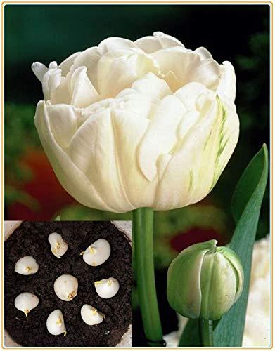 Tulpenzwiebeln, Blumen Romantische...