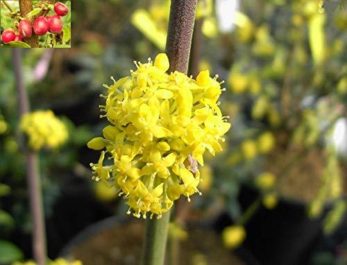 Cornus mas Golden Glory - Amerikanische Kornelkirsche Golden Glory - Gelber Hartriegel - Heilpflanze - Tierliebbaum - Herlitze - Dürlitze - Hirlnuss