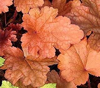 ANVIN Germination Seeds:Heuchera Bells Peach Flambe 10 Seeds