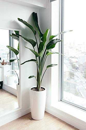 TUS PLANTAS A CASA | STRELITZIA AUGUSTA | MACETA C20 | PLANTA NATURAL